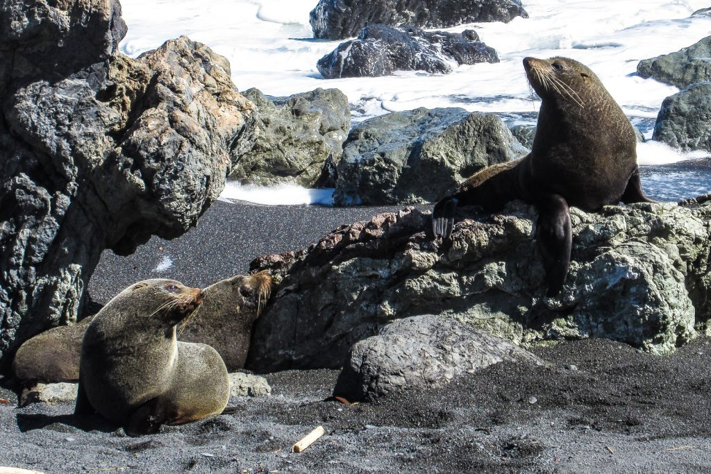 Cape Palliser Seals, best places to visit in New Zealand